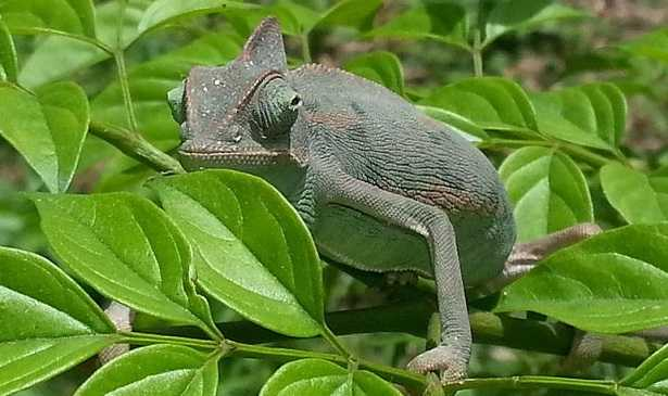 allevare un camaleonte