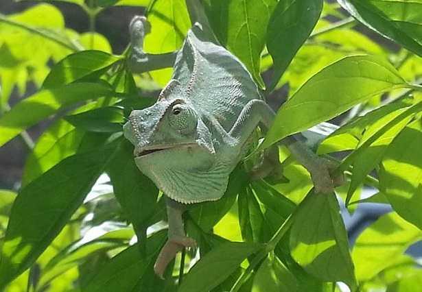 Come allevare un camaleonte all'aperto