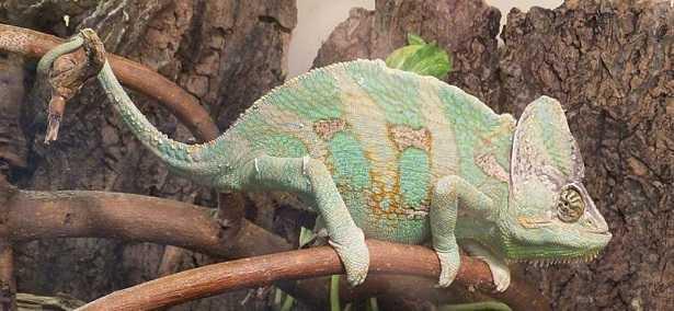 Come allevare un camaleonte