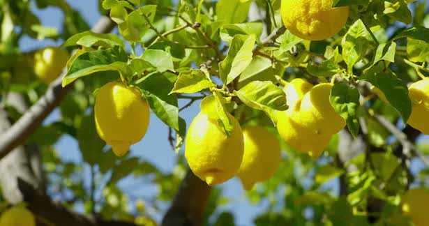 Come fare il rinvaso del limone