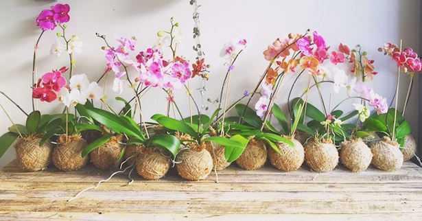 Orchidea nana