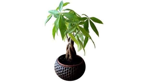 Pachira: la coltivazione