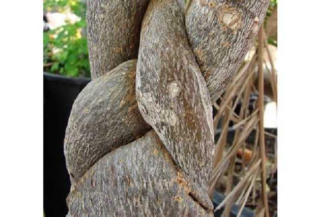 Pianta con tronco intrecciato: la Pachira