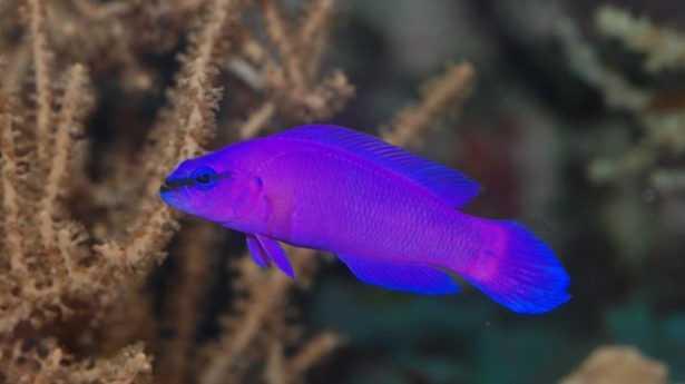 Pseudochromisfridmani