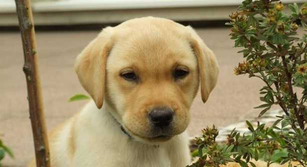Addestramento del Labrador: manuale