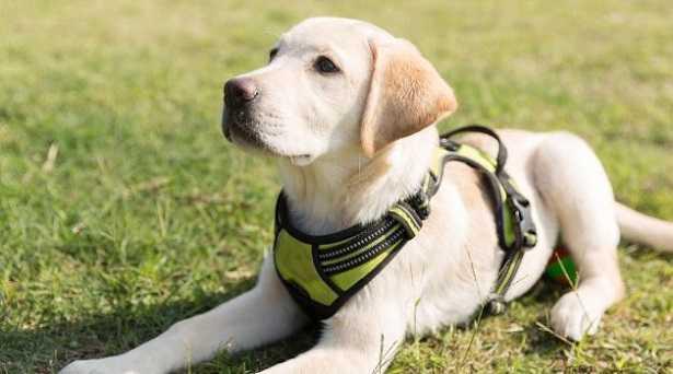 Addestramento del Labrador per la difesa