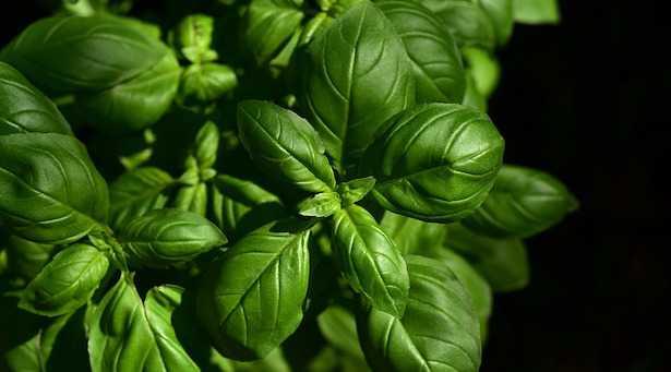 basilico con foglie macchiate