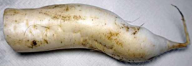 Carota bianca