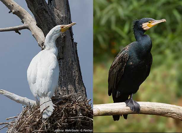 cormorano bianco cormorano nero