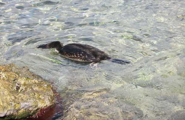 cormorano dove vive
