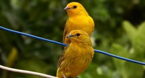 cova canarini