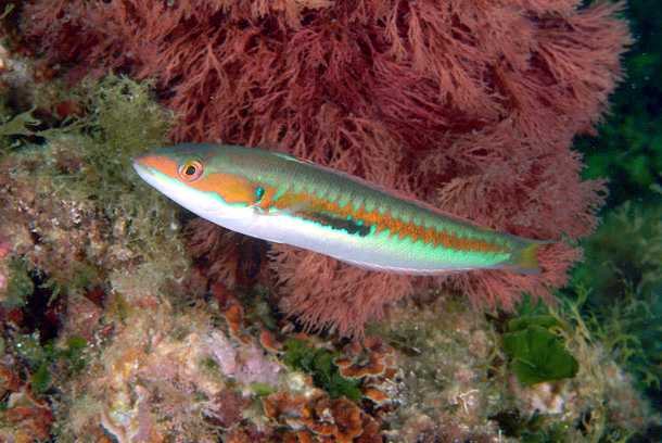 donzella pesce