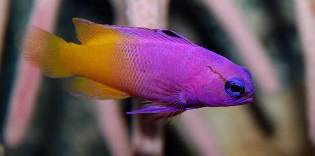 gramma loreto pesce tropicale facile