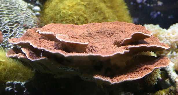 montipora in acquario