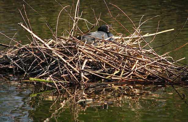 nido di folaga