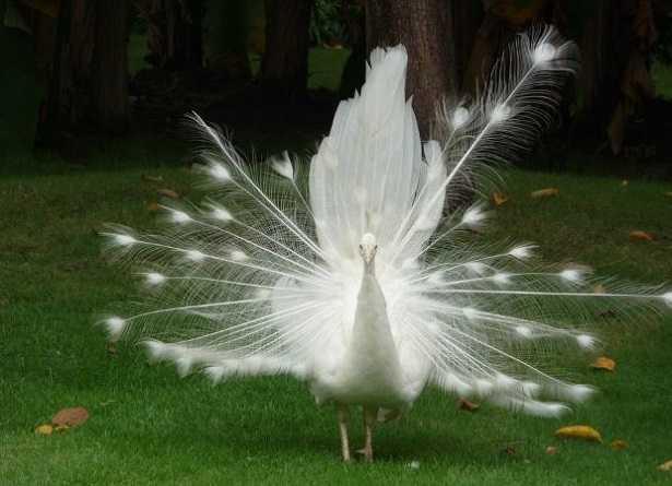 Pavone albino: immagini