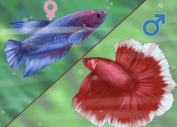 pesce combattente maschio betta femmina