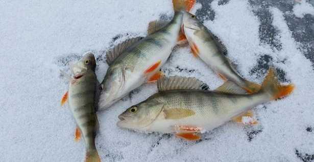 Pesce persico africano: ricettePesce persico africano: ricette