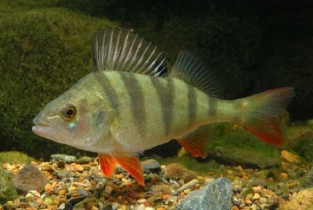 Pesce persico africano in padella