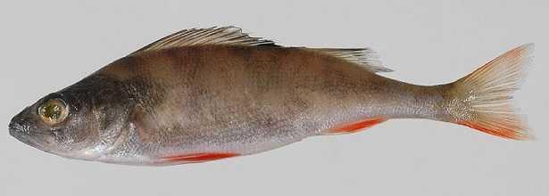 Pesce persico africano