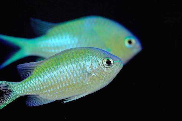 pesci acquario marino chromis viridis