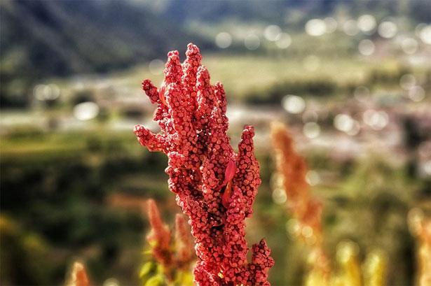 pianta quinoa
