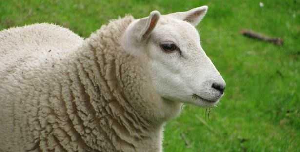 Vermifugo per capre