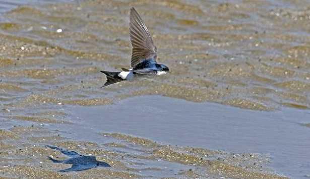 Balestruccio: nido