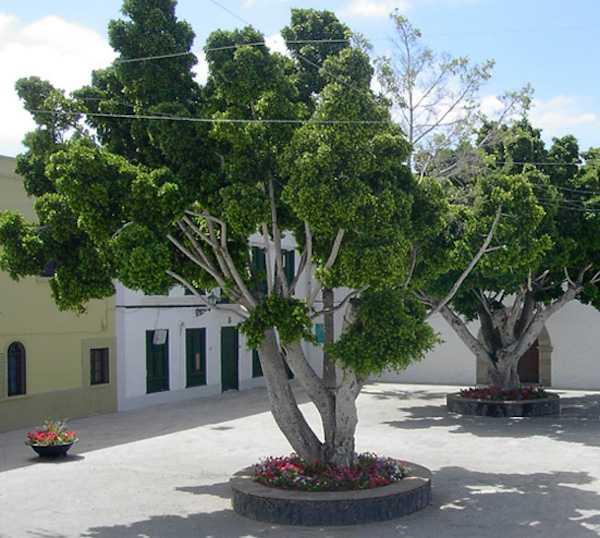 Ficus benjamin moltiplicazione