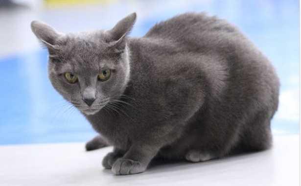 Gatti più costosi Blu di Russia