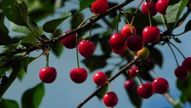 Noccioli di ciliegia da bere
