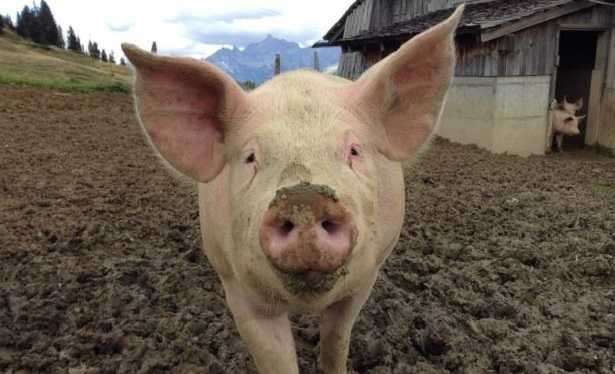 Allevamento di maiali allo stato brado: normativa