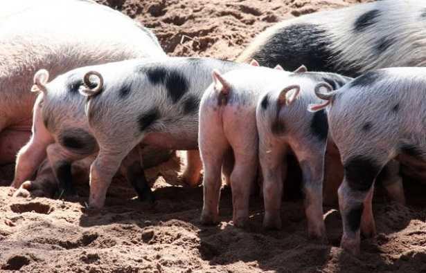 Allevamento di maiali allo stato brado