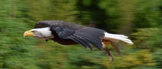 Aquila di mare