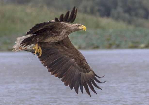 Aquila di mare di Steller
