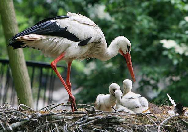 cicogna bianca in italia