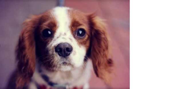 Coccidiosi del cane: cause