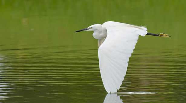 egretta bianca