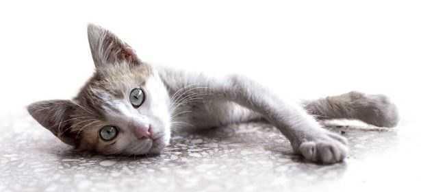 FeLV gatti