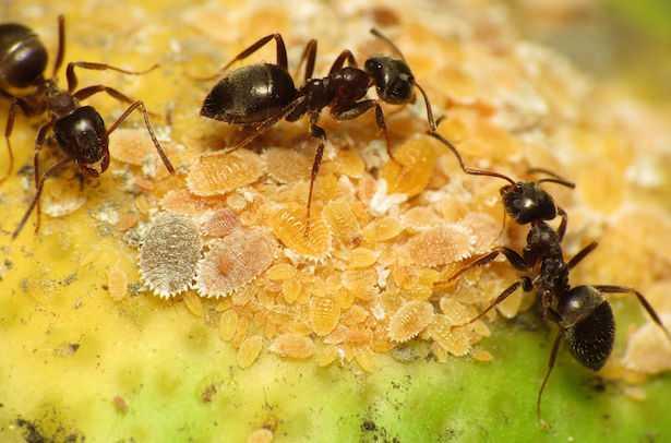 formiche nell'orto