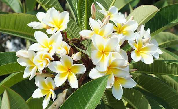 plumeria fioritura
