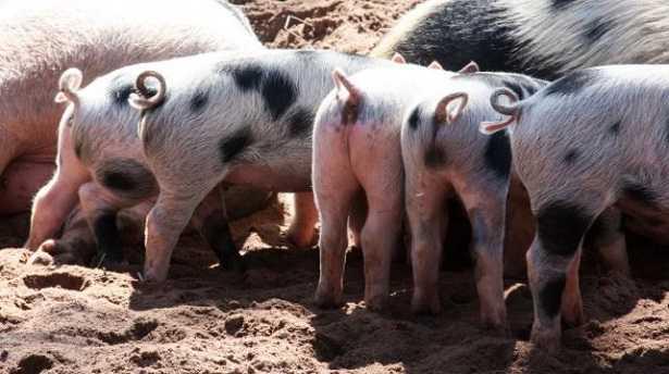 Stalla per maiali da allevamento