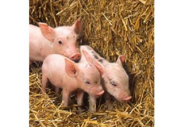 Stalla per maiali: come costruirla
