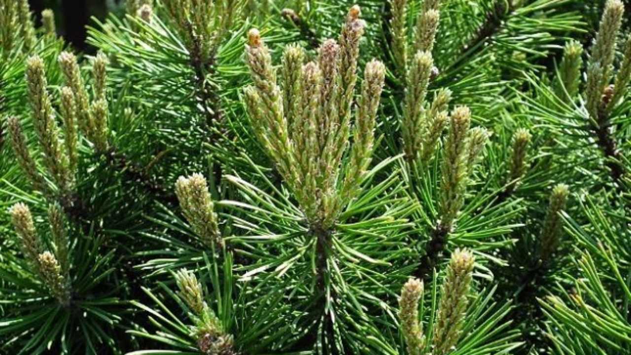 Foto Di Piante Sempreverdi alberi sempreverdi da giardino - idee green