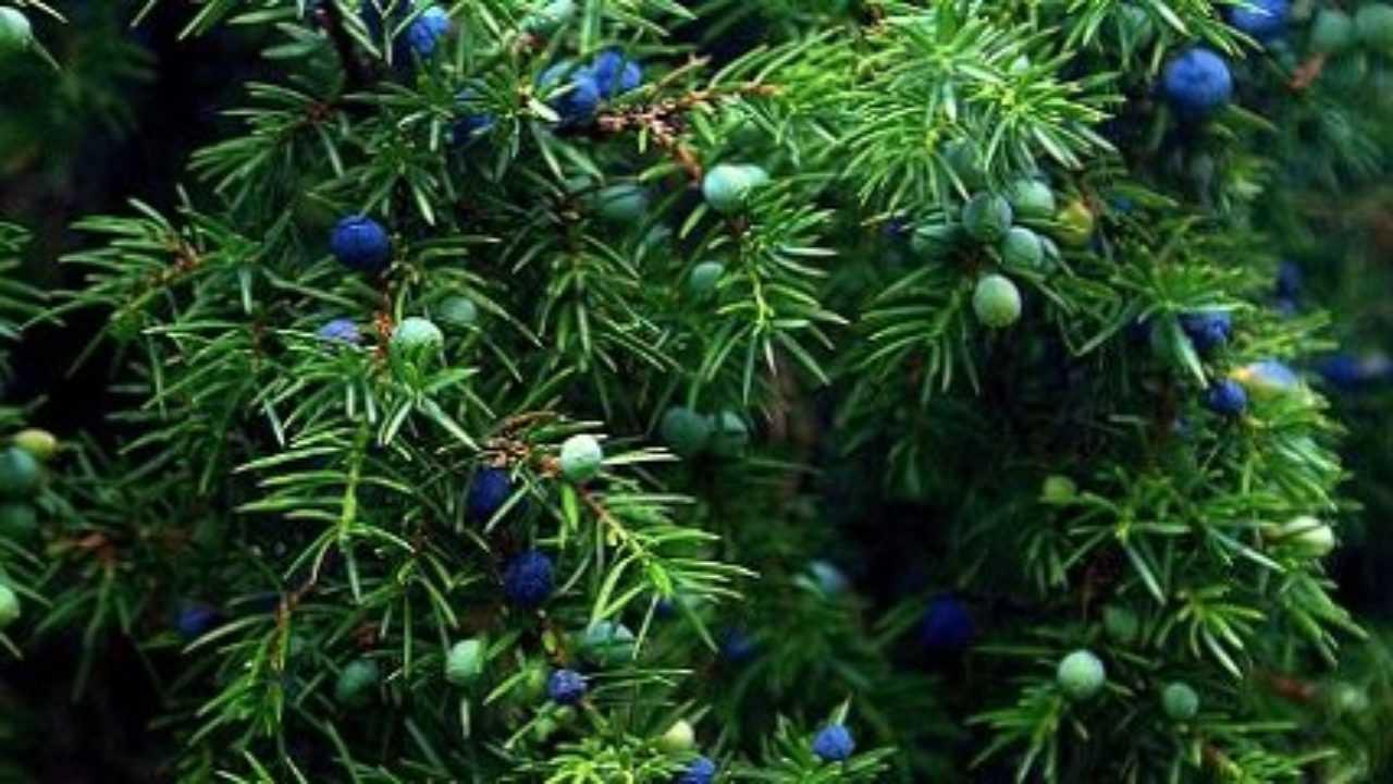 Piante Da Frutto Sempreverdi alberi sempreverdi: quali sono - idee green