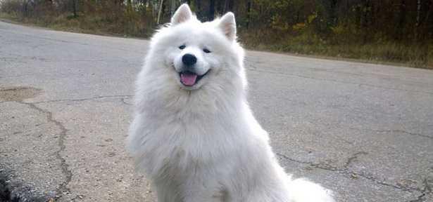 Cani più costosi: Samoiedo