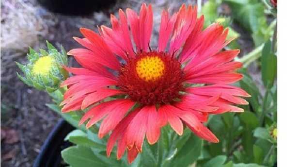 Gaillardia: fiore