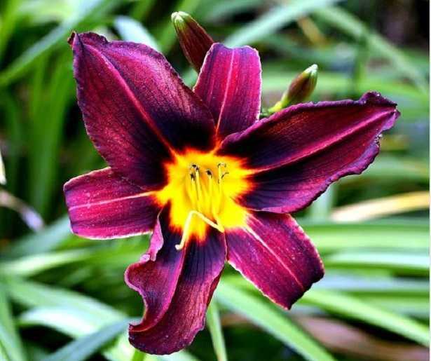 Hemerocallis: fiore