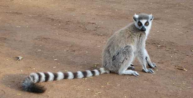 Lemure: caratteristiche
