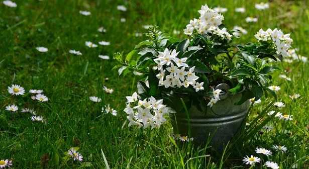 Piante Solanum